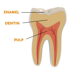 tooth basics learn about teeth from frequently asked. Black Bedroom Furniture Sets. Home Design Ideas